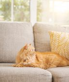 Beautiful ginger long hair cat lying on the sofa on a sunny day at home poster