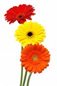 foto of daisy flower  - Gerber daisy flowers isolated on white background - JPG