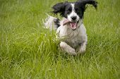 foto of pooch  - English Springer Spaniel dog running and playing in the grass