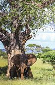 Large Elephant Has Ears Open Below Tree With Another Elephant Behind. Sun Shadows Across Face poster