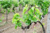 image of moscato  - Young vineyard - JPG