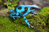 stock photo of rainforest  - frog in tropical rain forest blue poison dart frog Dendrobates auratus of rainforest in Panama beautiful tropical amphibian with bright warning colors - JPG
