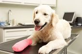image of veterinary surgery  - Dog Recovering After Treatment On Table In Veterinary Surgery - JPG