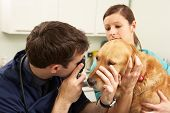 stock photo of vets surgery  - Male Veterinary Surgeon Examining Dog In Surgery - JPG