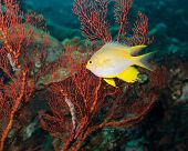 stock photo of damselfish  - Golden damselfish and red gorgonian coral - JPG