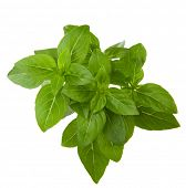 Fresh sprig of basil isolated on white background.