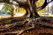 stock photo of centenarian  - Centenarian tree with large trunk and big roots above the ground - JPG