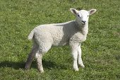 picture of suffolk sheep  - Lamb a week or two old taken in suffolk uk - JPG