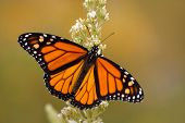 stock photo of butterfly-bush  - Male Monarch butterfly in summer garden feeding on a Buddleia flower - JPG
