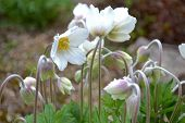 picture of rhizomes  - Picture of wood anemone rhizomes in spring - JPG