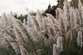 picture of pampas grass  - Cortaderia selloana or Pampas grass blowing in the wind - JPG
