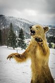 pic of embalming  - Romanian stuffed brown bear on winter background - JPG