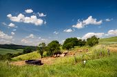 pic of moo-cow  - summer Landscape Unterbodnitz with castle Leuchtenburg on horizon and cows on the meadow - JPG