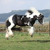 Gorgeous Irish Cob With Long Mane Jumping