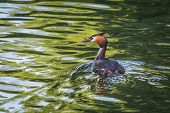 picture of great crested grebe  - Great Crested Grebe  - JPG