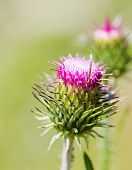 pic of cardo  - Thistle green closed bud with lilac stamens