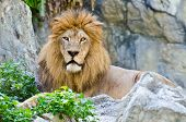 pic of mountain lion  - Male Lion rest on rocky of mountain - JPG