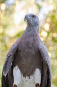 stock photo of fish-eagle  - Lesser Fish Eagle  - JPG