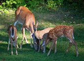 picture of black tail deer  - Quartet of whitetai deer with three fawns eating on the grass - JPG