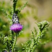 stock photo of scottish thistle  - Photo of the Thistle and Butterfly Over Natural Background - JPG