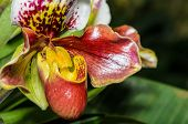 stock photo of rare flowers  - Slipper Orchid  - JPG