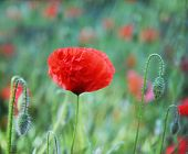 pic of poppy flower  - red poppy flowers blooming in the spring - JPG