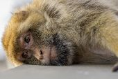 pic of gibraltar  - A very tired berber monkey at Gibraltar - JPG