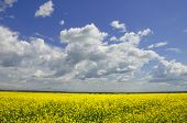 foto of rape-field  - Blossom yellow rape plant field - JPG