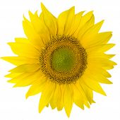 picture of fibonacci  - yellow sunflower  isolated on pure white background - JPG