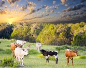 image of longhorn  - Female Longhorn cows grazing in a Texas pasture at sunrise with newborn calves - JPG