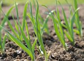 picture of bohemia  - Spring garlic plant - JPG