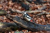 foto of woodpecker  - Great Spotted Woodpecker resting on a tree trunk on the ground - JPG