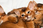 foto of ruddy-faced  - Cute little abyssinian kitten with somali sisters - JPG