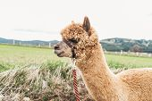stock photo of reining  - Close up of a fluffy Alpaca with red rein - JPG