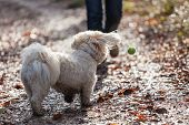 picture of hairy tongue  - Havanese dog playing with ball in a forrest - JPG