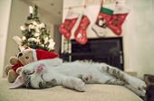 image of christmas baby  - Baby cat - JPG