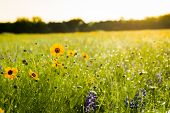 image of bluebonnets  - Texas bluebonnets and sunflowers on a sunny spring morning - JPG