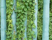 picture of ivy vine  - ivy leaves on wall  - JPG