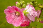stock photo of may-flower  - Alcea - JPG