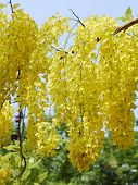 image of cassia  - Cassia Flower in summer Close up Cassia flower - JPG