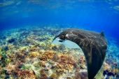image of coral reefs  - Manta ray filter feeding above a coral reef in the blue Komodo waters - JPG