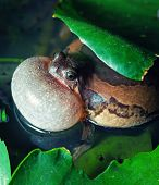 stock photo of mating  - Male Banded bullfrog  calls for a mate with vocal sac inflated during mating season - JPG