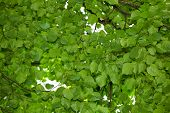 stock photo of linden-tree  - Bottom up view on linden  - JPG