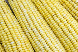 picture of corn cob close-up  - Fresh picked yellow corn cobs close up - JPG