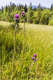 picture of marshes  - Blooming flowers  - JPG