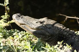 image of crocodilian  - a picture of an american alligator in the swamp - JPG