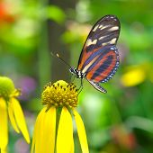 picture of butterfly flowers  - butterfly feeding on a cornflower - JPG