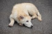 The Concept Of Homeless Animals, The Shelter Or Veterinary Clinic - An Abandoned Sick Dog, Lying On  poster
