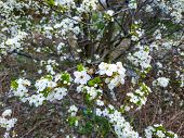 White Beautiful Blooming Bird Cherry In The Spring Sunny Day. White Bird Cherry.blossoming Bird-cher poster