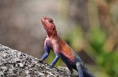 An Image Of The Mwanza Flat-headed Rock Agama. poster